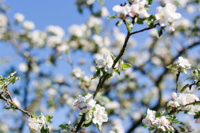 Apfelblüte (1 von 1)